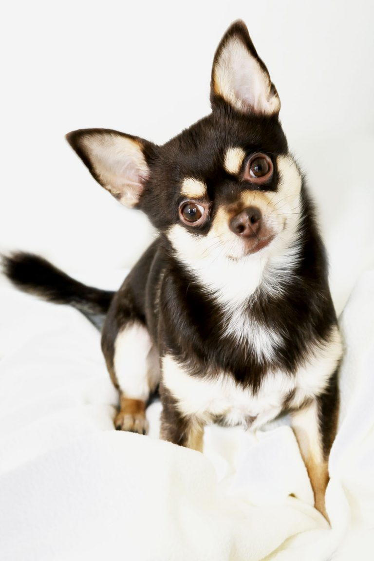 kleiner-hund-chiwawa